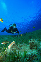 Scuba diver studies anemone with damselfish