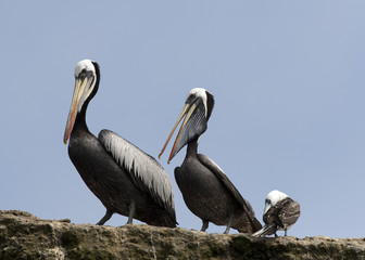 Pelicans and seagull