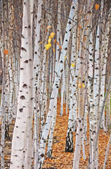 Aluminium Prints Birch Grove Birch trees
