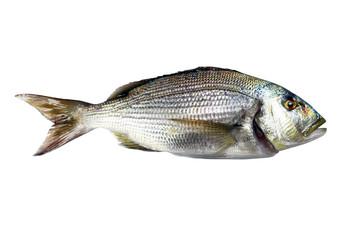 Dentex Fish