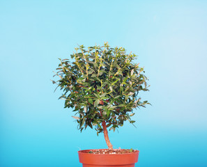 small myrtle tree