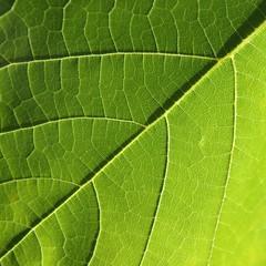 Obraz Zielony liść - fototapety do salonu