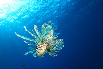 Common Lionfish (Pterois miles) with blue water background