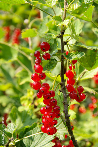 johannisbeerstrauch currant bush 05 stockfotos und. Black Bedroom Furniture Sets. Home Design Ideas