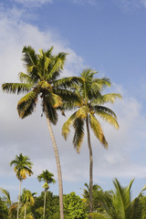 kerala palms