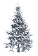 Fur-tree_01