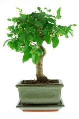 bonsai in a grey pot