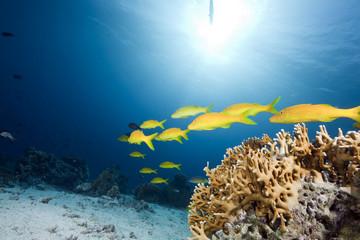 yellowsaddle goatfish,ocean and coral