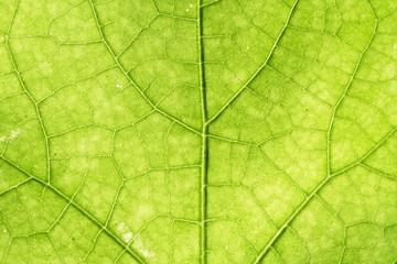 Green leaf vein for backgrounds