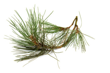 Branch of spruce tree over white background