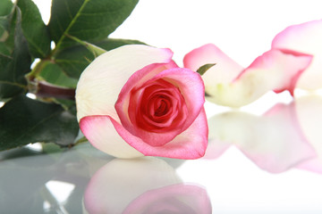 Rose and petal on mirror surface