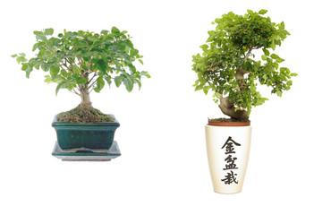 two bonsai
