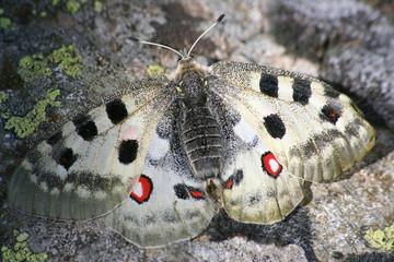 farfalla alpina protetta