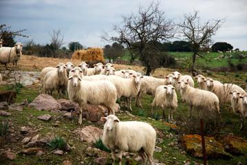 Italian Sheep