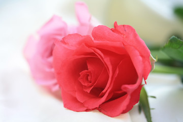 roses, two tones of pink