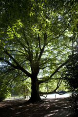 big elm in sunny day