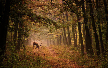 Red deer in a forest