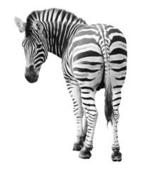 Keuken foto achterwand Zebra Zoo single burchell zebra isolated on white background
