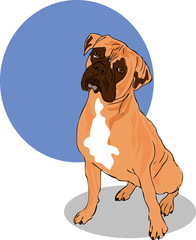 Muscular Brown, White And Black Boxer Dog  Head Facing Front