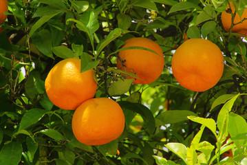 Orange am Baum - orange fruit on tree 07