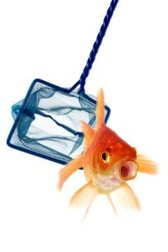 Catch the goldfish