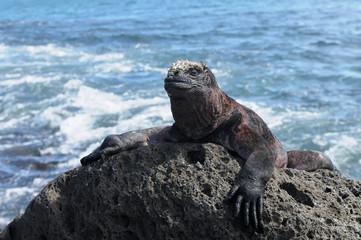 Weitblick einer Galapagos Meerechse