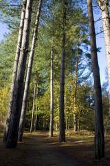 Path through tall pine trees