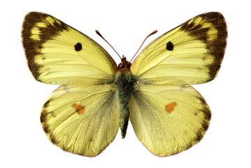 Papillon fluoré (Colias alfacariensis) détouré sur fond blanc