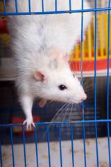 The white rat