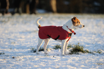 Parson Jack Russell in red winter coat standing in the snow
