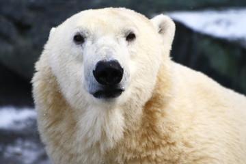 Fond de hotte en verre imprimé Ours Blanc Eisbär
