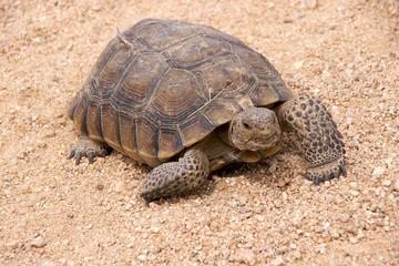 Mojave desert tortoise (Gopherus Agassizii), now threatened