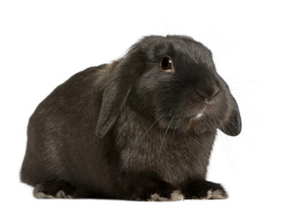 Lop rabbit, 18 months old,, studio shot