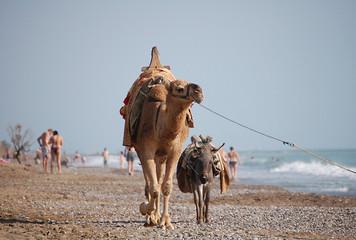 dromedario y burro paseando por la playa