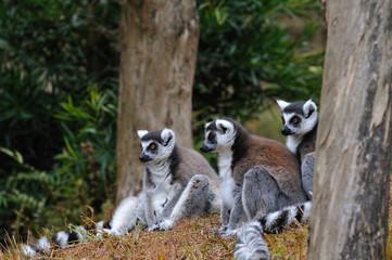 メガネザルのグループ