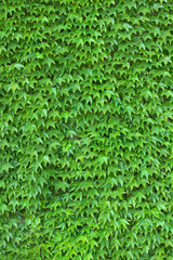 Ivy Wall vertical