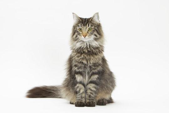 chat des forêts norvégiennes assis en posture intimidante