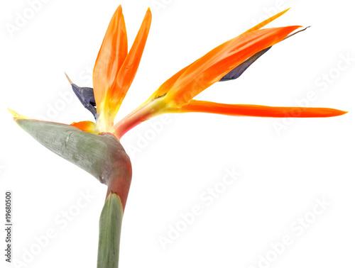 fleur exotique oiseau du paradis fond blanc photo libre de droits sur la banque d 39 images. Black Bedroom Furniture Sets. Home Design Ideas