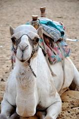 Sitting camel