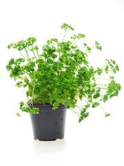 herb parsley