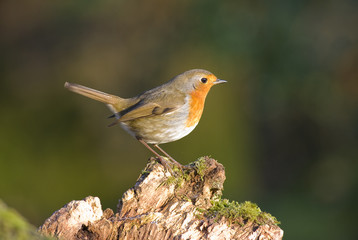 Robin on tree stump