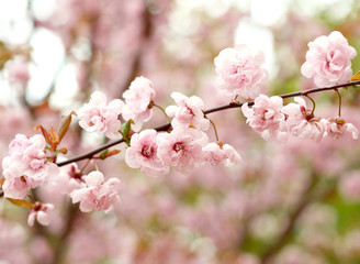 Spring apple blossoms.