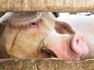 Pig in Enclosure