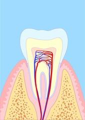 molar tooth