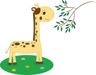 Giraffe eating leaves. Isolated on white