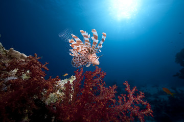 lionfish, ocean and coral