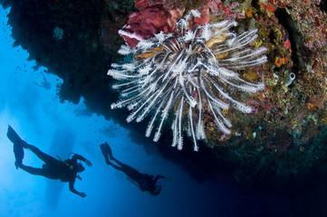 Plongeuse le long du récif, photo sous marine, Lembeh, IndonŽsie