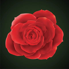 Vector photorealistic rose