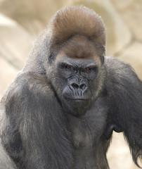 powerful african western lowlands gorilla male silverback