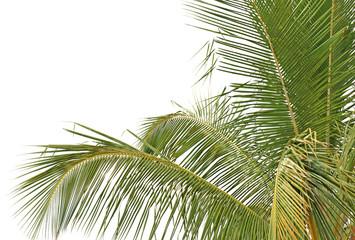 cocotier tropical fond blanc